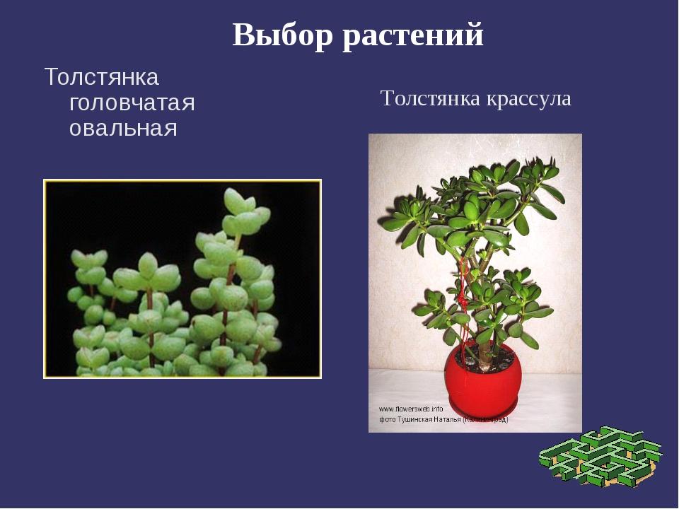 Выбор растений Толстянка головчатая овальная Толстянка крассула