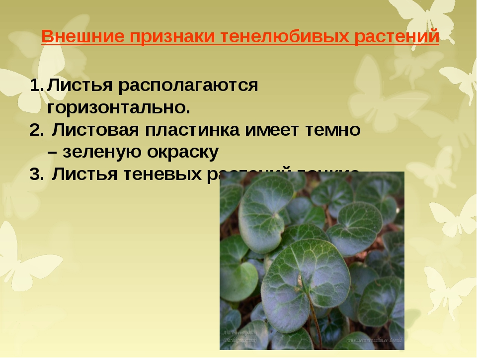 Внешние признаки тенелюбивых растений Листья располагаются горизонтально. Лис...