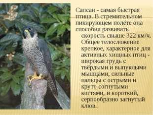 Сапсан - самая быстрая птица. В стремительном пикирующем полёте она способна