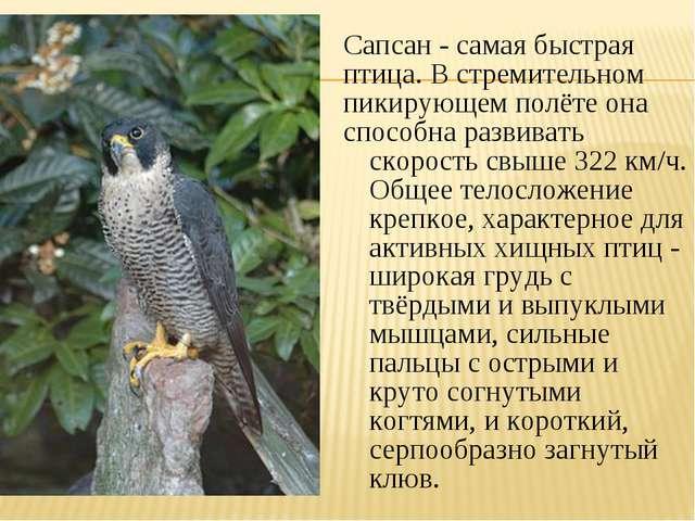 Сапсан - самая быстрая птица. В стремительном пикирующем полёте она способна...
