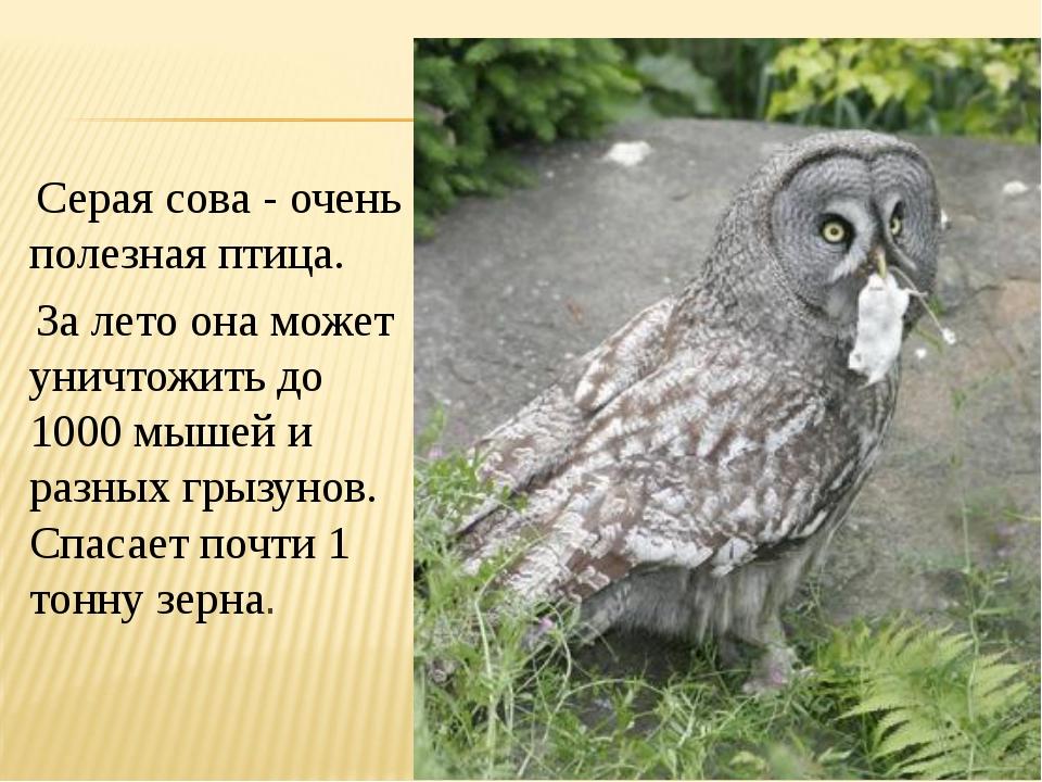 Серая сова - очень полезная птица. За лето она может уничтожить до 1000 мыше...