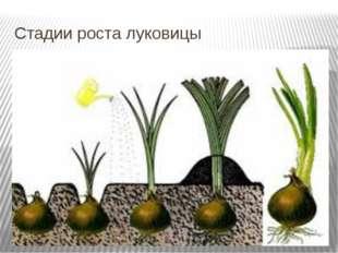 Стадии роста луковицы