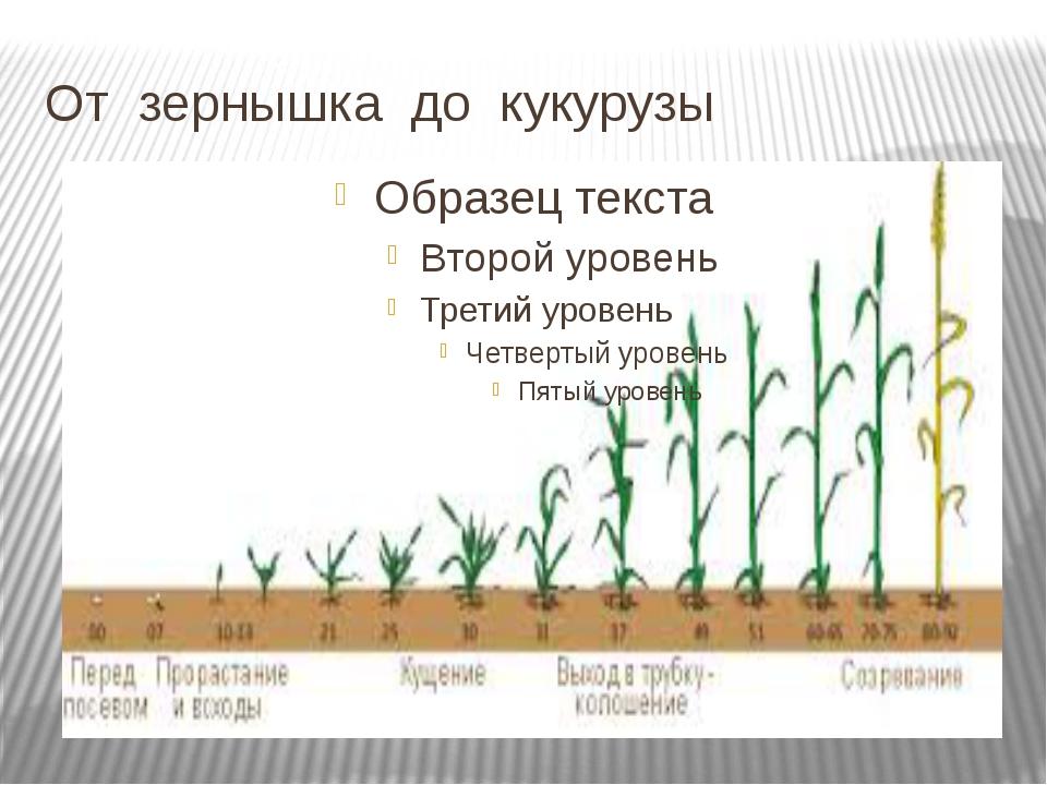 От зернышка до кукурузы