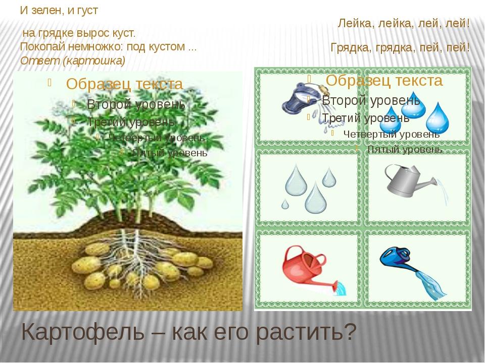 Картофель – как его растить? И зелен, и густ на грядке вырос куст. Покопай не...
