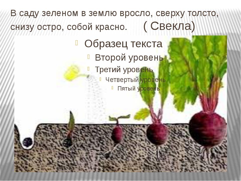 В саду зеленом в землю вросло, сверху толсто, снизу остро, собой красно. ( Св...