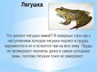 Лягушка Что делают лягушки зимой? В северных странах с наступлением холодов