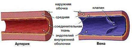 C:\Users\Мвидео\Desktop\МОИ Таблицы Конспекты\arterii-i-veny-stroenie.png