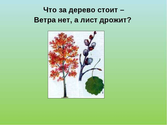Что за дерево стоит – Ветра нет, а лист дрожит?