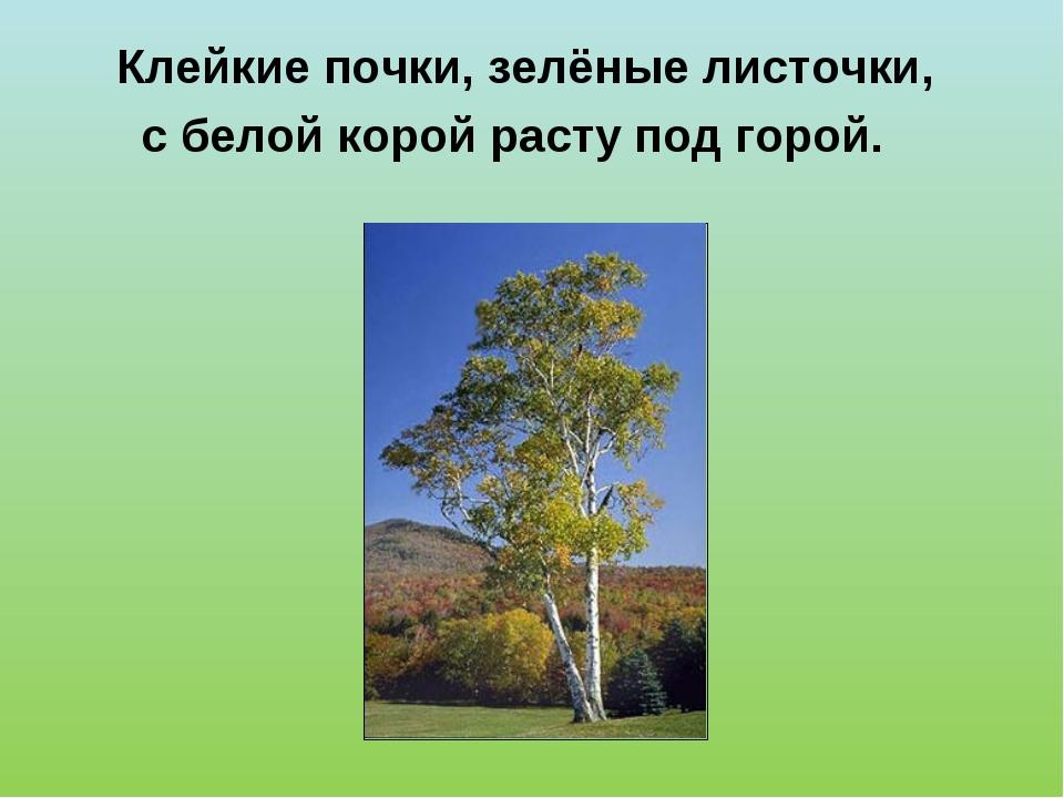 Клейкие почки, зелёные листочки, с белой корой расту под горой.