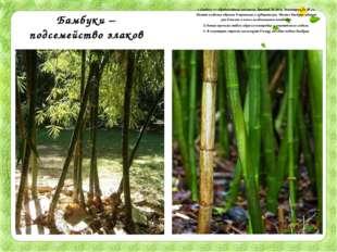 Бамбуки – подсемейство злаков 1.Стебель — одревесневшая соломина, высотой до