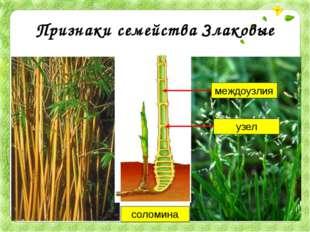 Признаки семейства Злаковые соломина узел междоузлия Что же объединяет бамбук