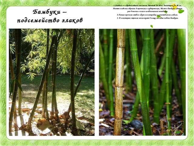 Бамбуки – подсемейство злаков 1.Стебель — одревесневшая соломина, высотой до...