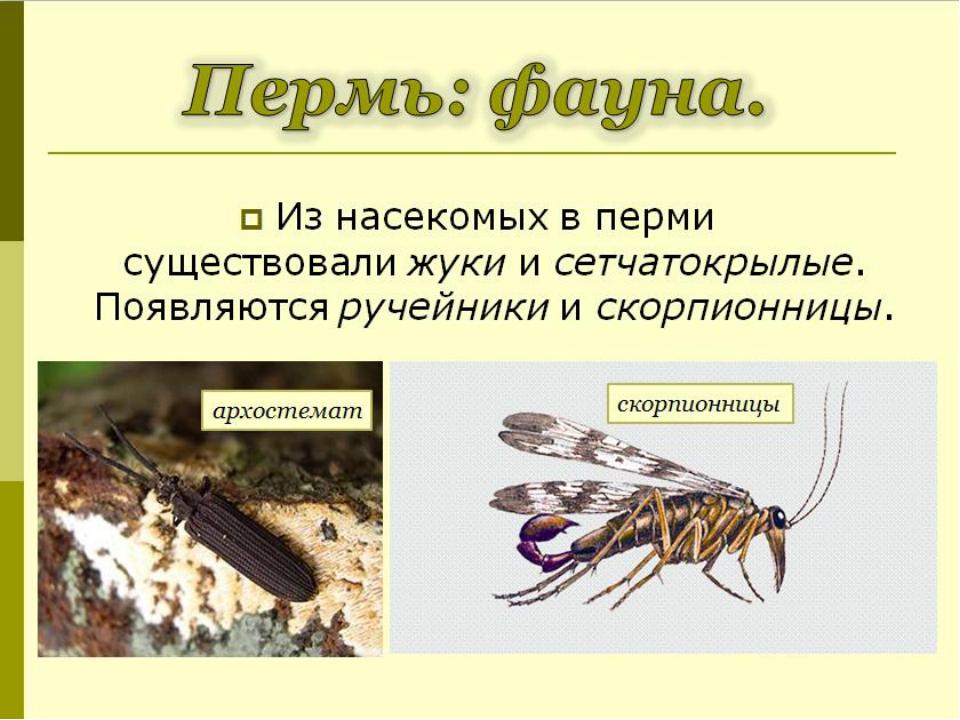 Из насекомых в перми существовалижуки исетчатокрылые. Появляютсяручейники...