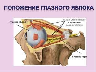 Глазное яблоко Мышцы, приводящие в движение глазное яблоко Глазной нерв
