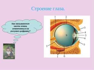 Как называются части глаза, отмеченные на рисунке цифрами? Строение глаза.