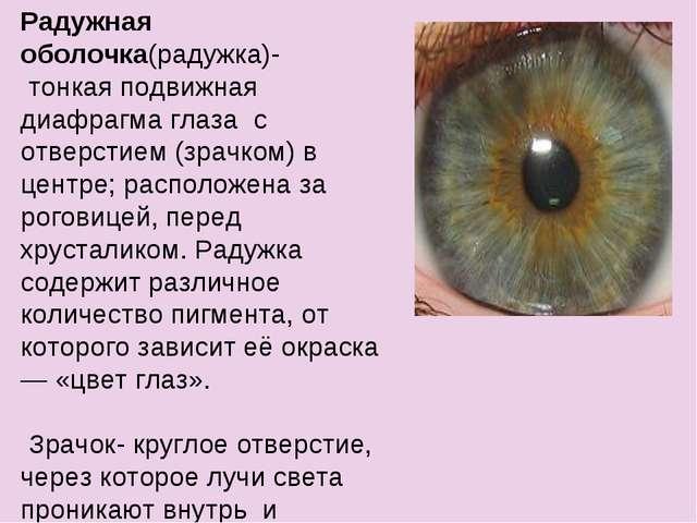 Радужная оболочка(радужка)- тонкая подвижная диафрагма глаза с отверстием (зр...