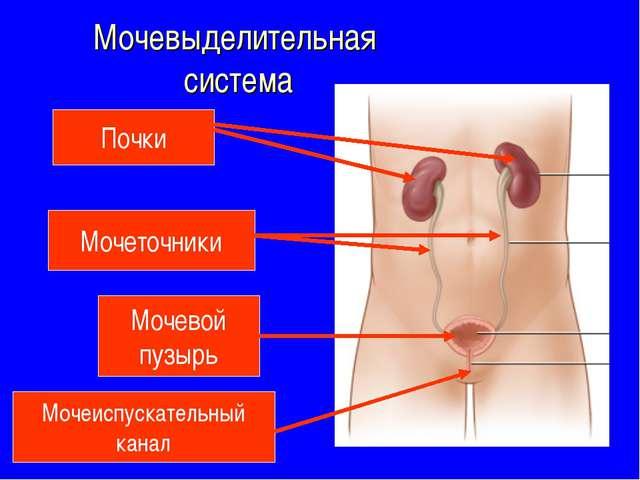 Мочевыделительная система Почки Мочеточники Мочевой пузырь Мочеиспускательный...