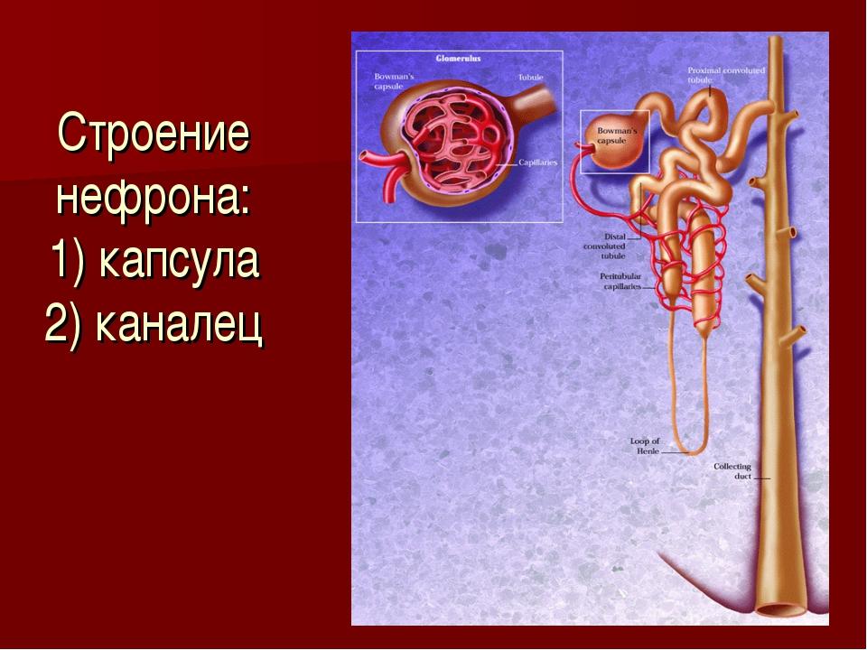 Строение нефрона: 1) капсула 2) каналец