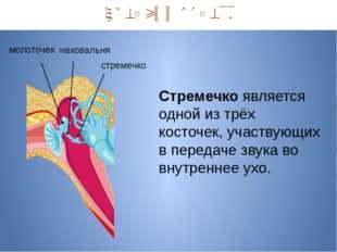 Средний отдел. наковальня молоточек стремечко Стремечко является одной из тр