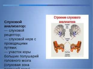 Слуховой анализатор: — слуховой рецептор; — слуховой нерв с проводящими путям