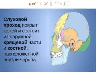 Наружный отдел. Слуховой проход покрыт кожей и состоит из наружной хрящевой