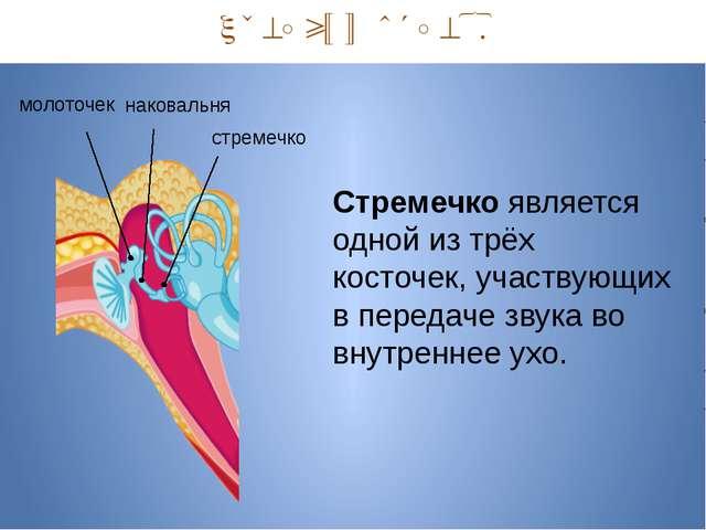 Средний отдел. наковальня молоточек стремечко Стремечко является одной из тр...