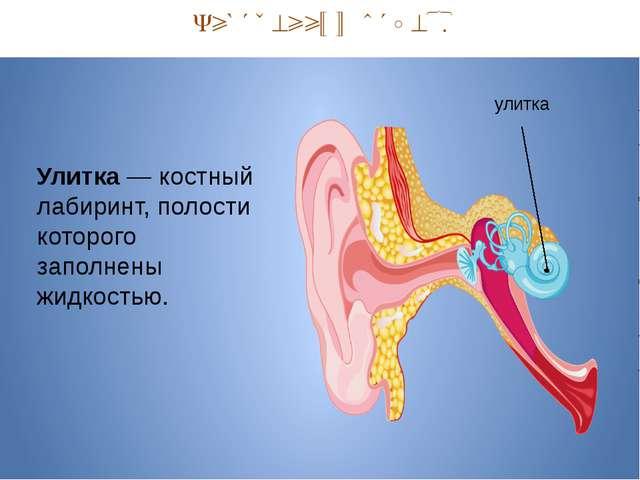 Внутренний отдел. улитка Улитка — костный лабиринт, полости которого заполне...