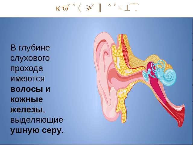 Наружный отдел. В глубине слухового прохода имеются волосы и кожные железы,...