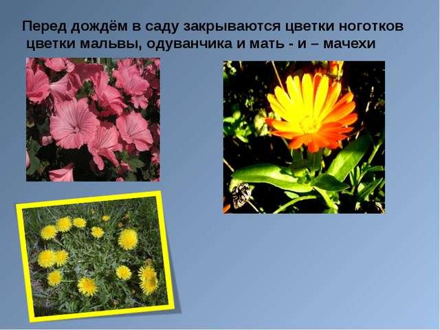 Перед дождём в саду закрываются цветки ноготков цветки мальвы, одуванчика и м...