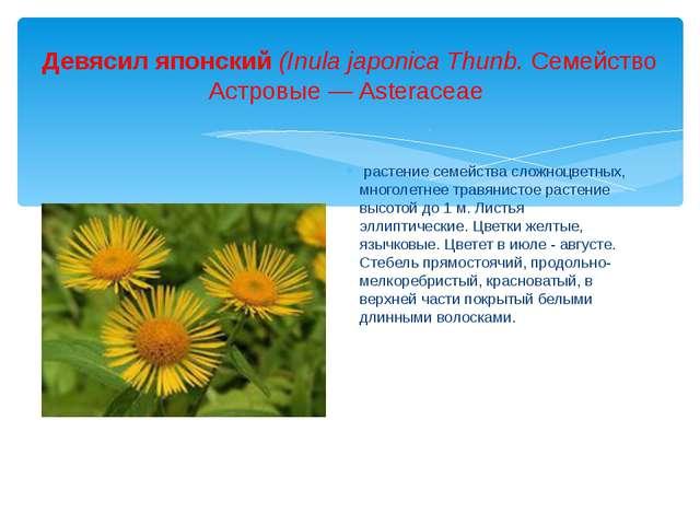 Девясил японский (Inula japonica Thunb. Семейство Астровые— Asteraceae расте...