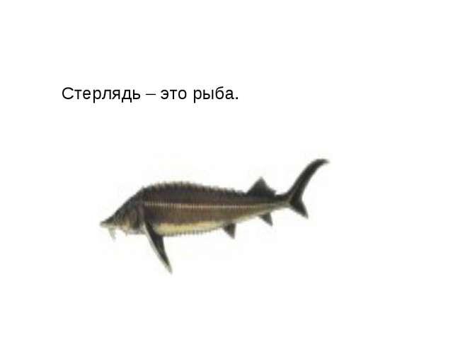 Стерлядь – это рыба.