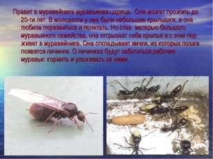 Правит в муравейнике муравьиная царица. Она может прожить до 20-ти лет. В мол