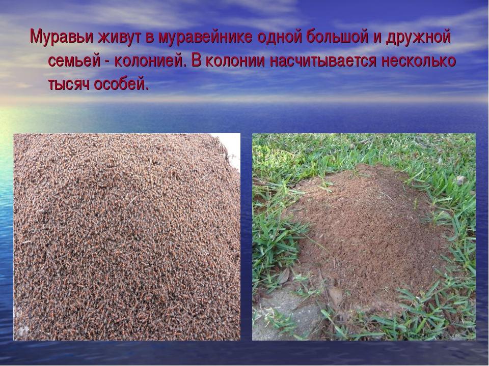 Муравьи живут в муравейнике одной большой и дружной семьей - колонией. В коло...