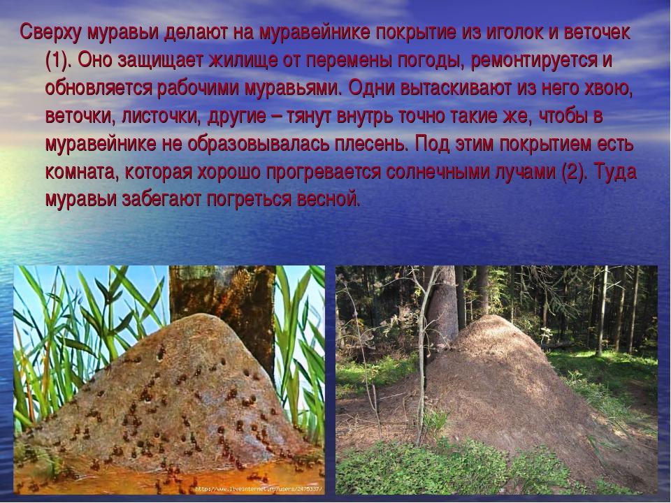 Сверху муравьи делают на муравейнике покрытие из иголок и веточек (1). Оно за...