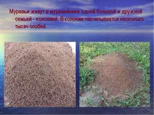 Муравьи живут в муравейнике одной большой и дружной семьей - колонией. В коло