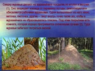 Сверху муравьи делают на муравейнике покрытие из иголок и веточек (1). Оно за