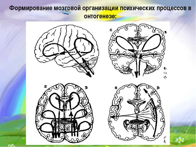 Формирование мозговой организации психических процессов в онтогенезе: