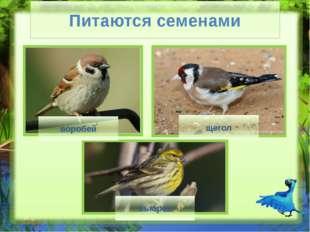 Питаются нектаром нектарница колибри Питаются нектаром (Слайд №8) Посмотрите