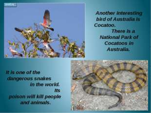 Another interesting bird of Australia is Cocatoo. There is a National Park o