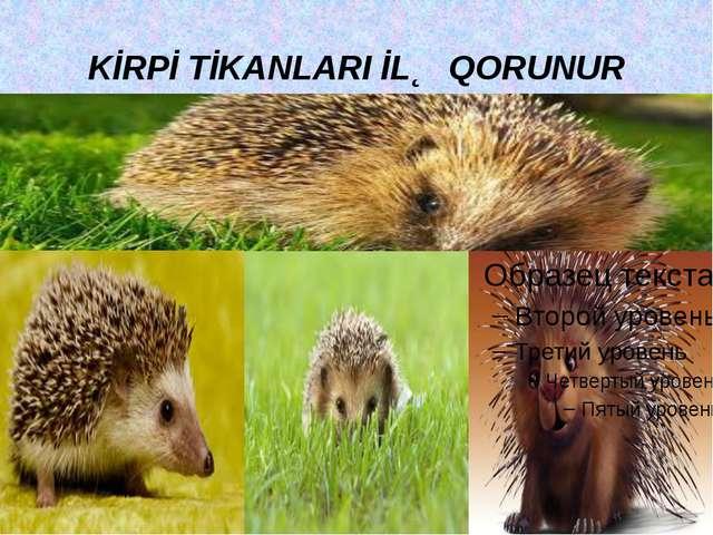 KİRPİ TİKANLARI İLƏ QORUNUR