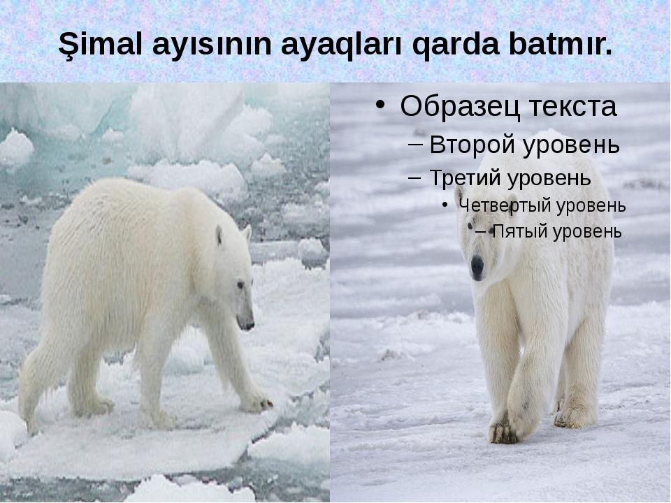Şimal ayısının ayaqları qarda batmır.