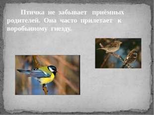 Птичка не забывает приёмных родителей. Она часто прилетает к воробьиному гне