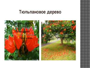 Тюльпановое дерево