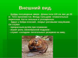 Внешний вид. Бобры полуводные звери . Длина тела 120 см, вес до 20 кг. Тело