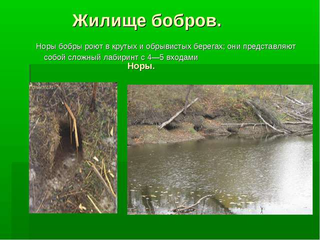 Жилище бобров. Норы. Норы бобры роют в крутых и обрывистых берегах; они пред...