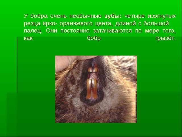 У бобра очень необычные зубы: четыре изогнутых резца ярко- оранжевого цвета,...