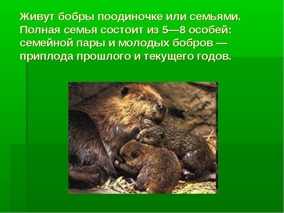 Живут бобры поодиночке или семьями. Полная семья состоит из 5—8 особей: семей...