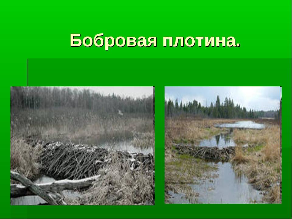 Бобровая плотина.