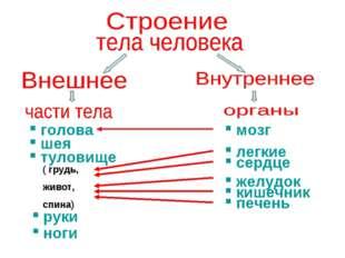 голова шея туловище ( грудь, живот, спина) руки ноги мозг легкие сердце желу