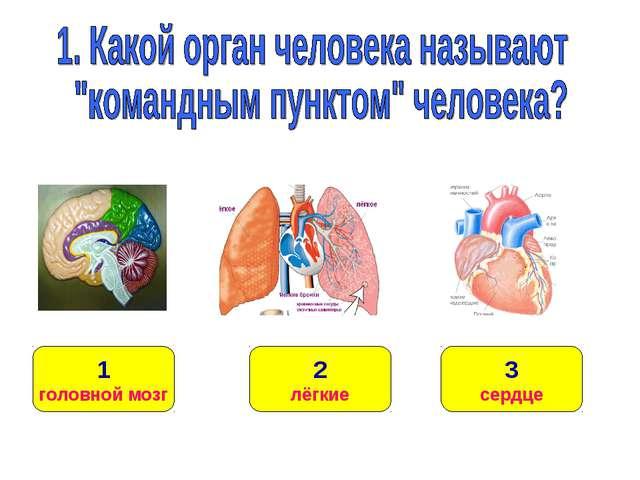 1 головной мозг 3 сердце 2 лёгкие